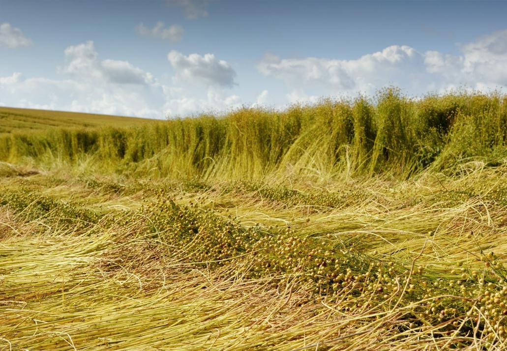 Flachsfeld bei der Ernte